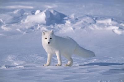 J'avoue. En vrai aussi je kiffe les renards polaire.