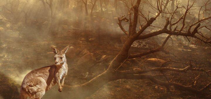 Kangourou dans une forêt brulée d'Australie.